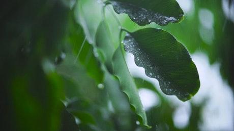 被淋湿得树叶近景视频